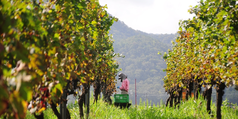 vineyard (106) (2)