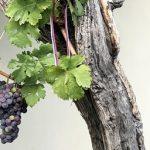 知るほどに面白い!ブドウの「土着品種」とその楽しみ方【ワインの豆知識 初級】