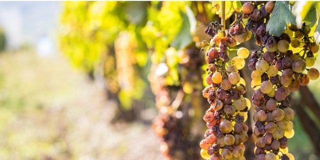 貴腐ワイン用の貴腐ぶどうの栽培風景