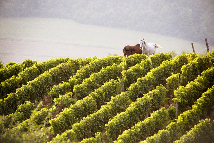 ワイン畑にいる馬たち