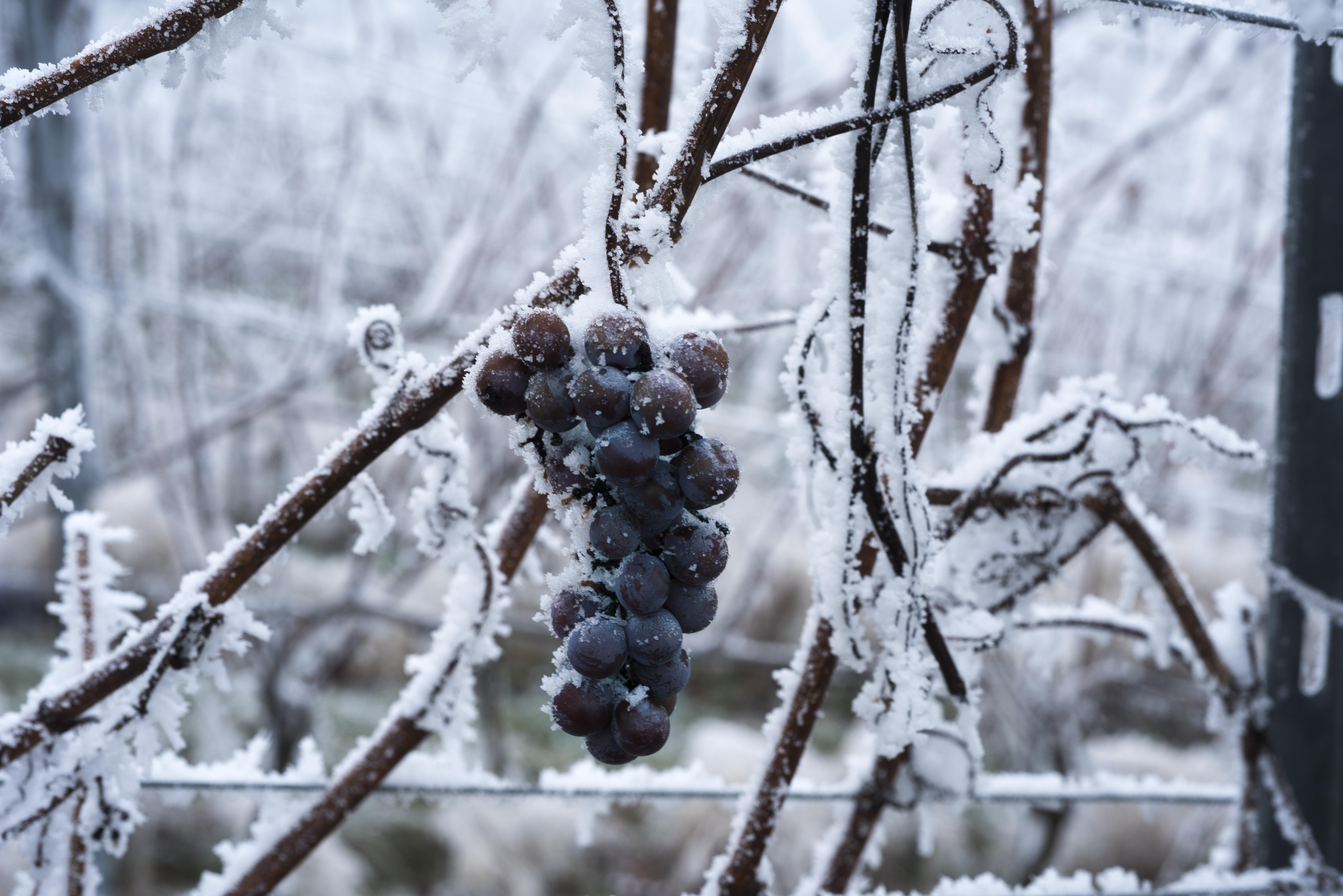 アイスワインのブドウ棚