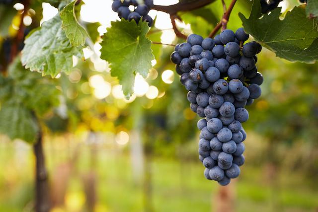 ワイナリーで実をつけている黒葡萄