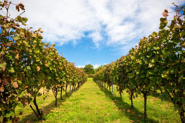 日本のワイナリーの畑
