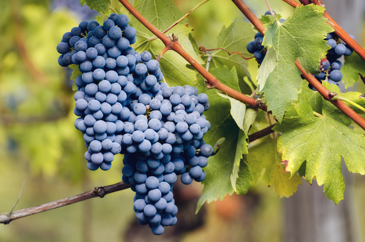 ネッビオーロのブドウ