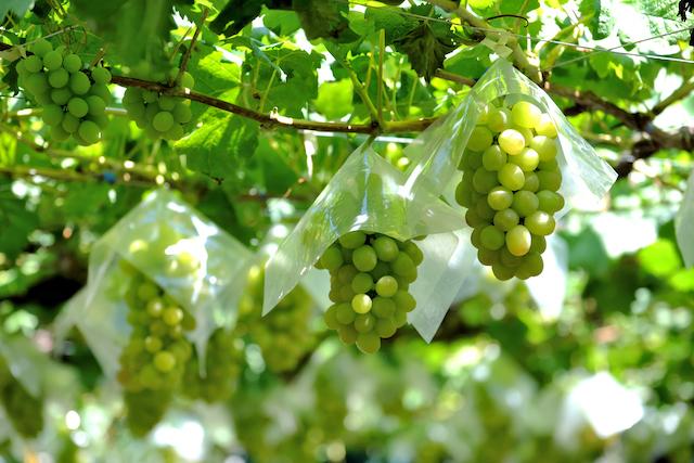 山梨県のぶどう畑でぶどうが実っている様子