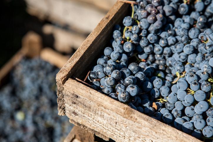 新鮮な収穫赤ワイン作り木箱にブドウの束