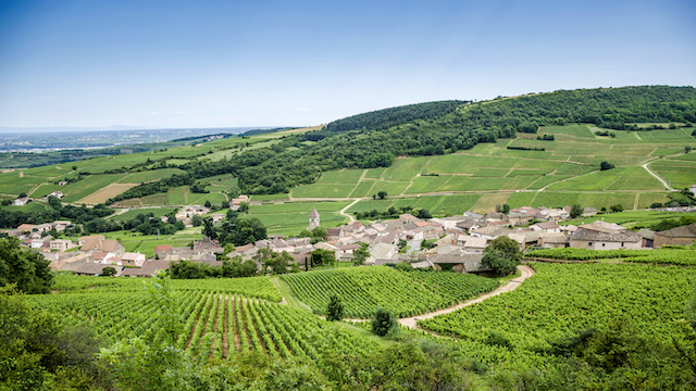 広大に広がるワイン畑