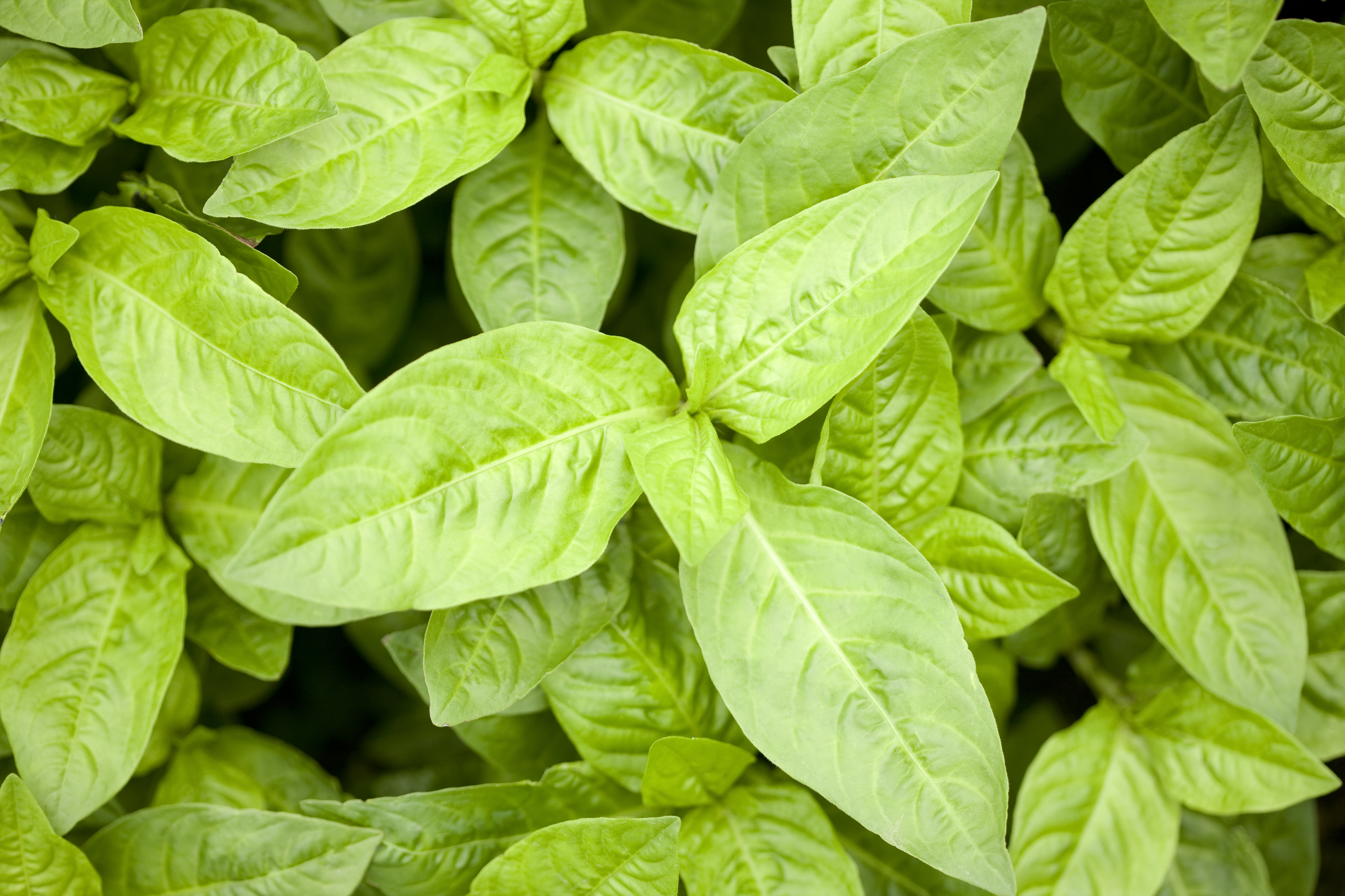 インディゴの葉のアップ