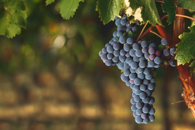 ワイン畑にカベルネ・ソーヴィニヨンが実っている様子