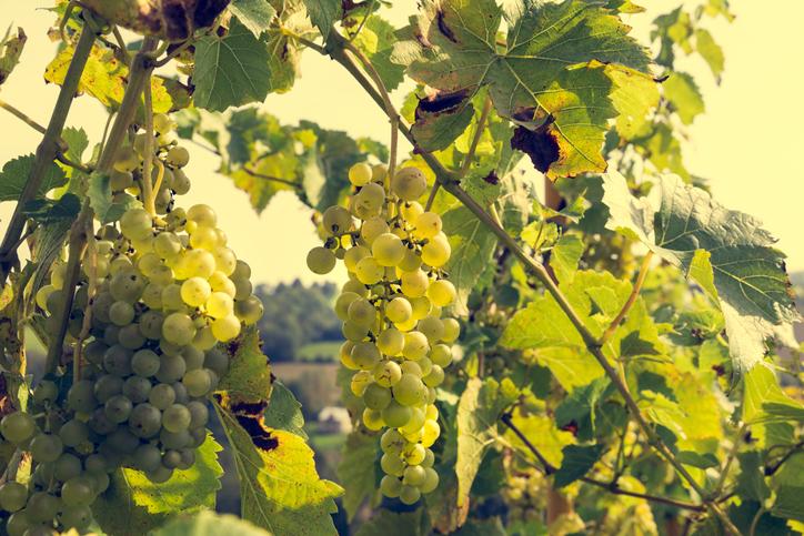 ワイナリーの白ブドウ