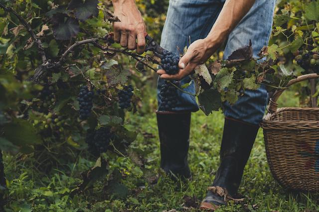 ぶどうの木からぶどうを摘んでいる様子