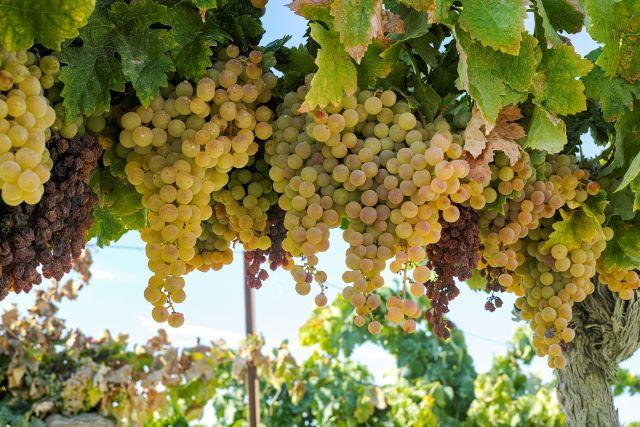 畑で房をつけたスペインのブドウ