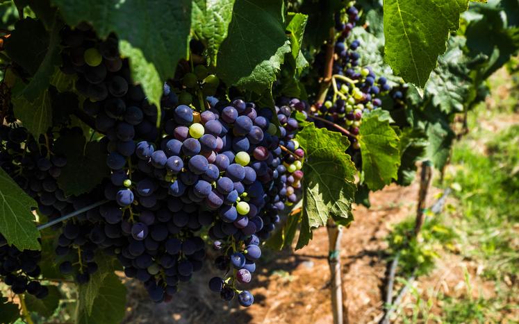 アルゼンチンのメンドーサで栽培される黒ブドウ品種