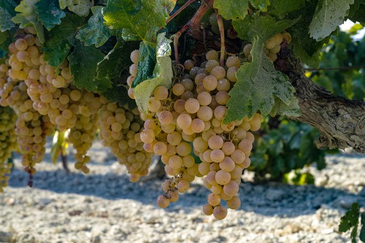 シェリー酒のブドウ品種が木になっている