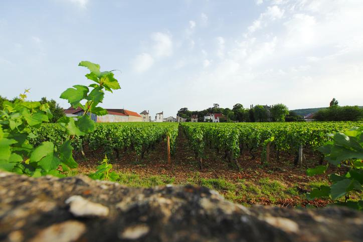 ジュヴレ・シャンベルタンの畑