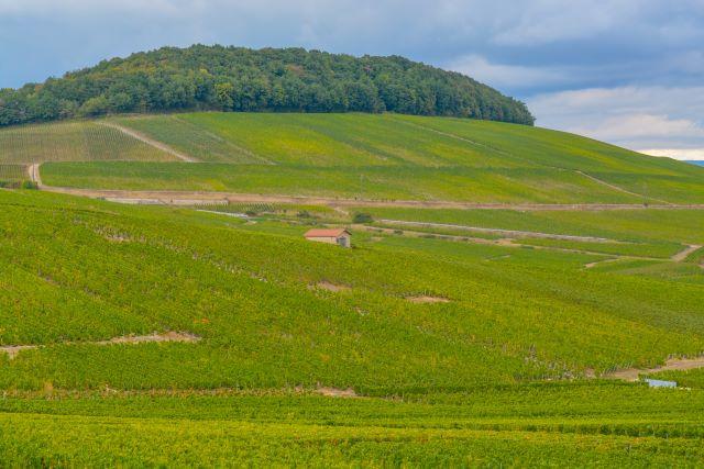 コート・デ・ブランのブドウ畑