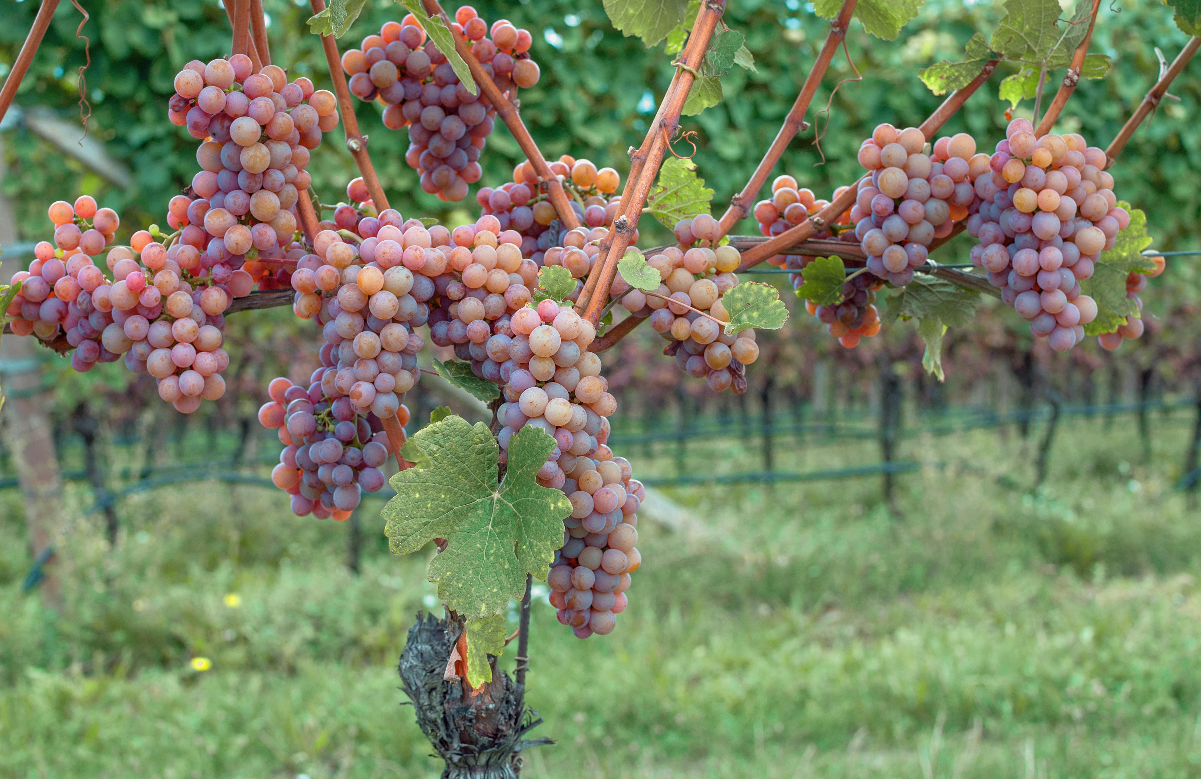 ゲヴェルツトラミネールのブドウ畑