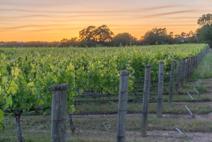 カルフォルニアのワイナリーにブドウの苗木が並ぶ