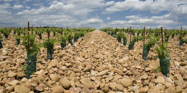 小石が転がるブドウ畑