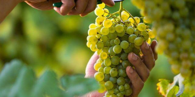 ブドウを収穫する
